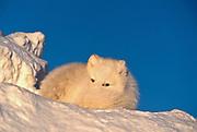 Arctic fox lying on snow cornice