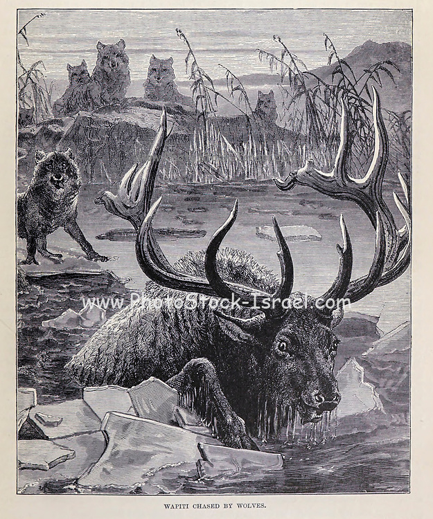 Wapiti Chased by Wolves From the book ' Royal Natural History ' Volume 2 Edited by Richard Lydekker, Published in London by Frederick Warne & Co in 1893-1894