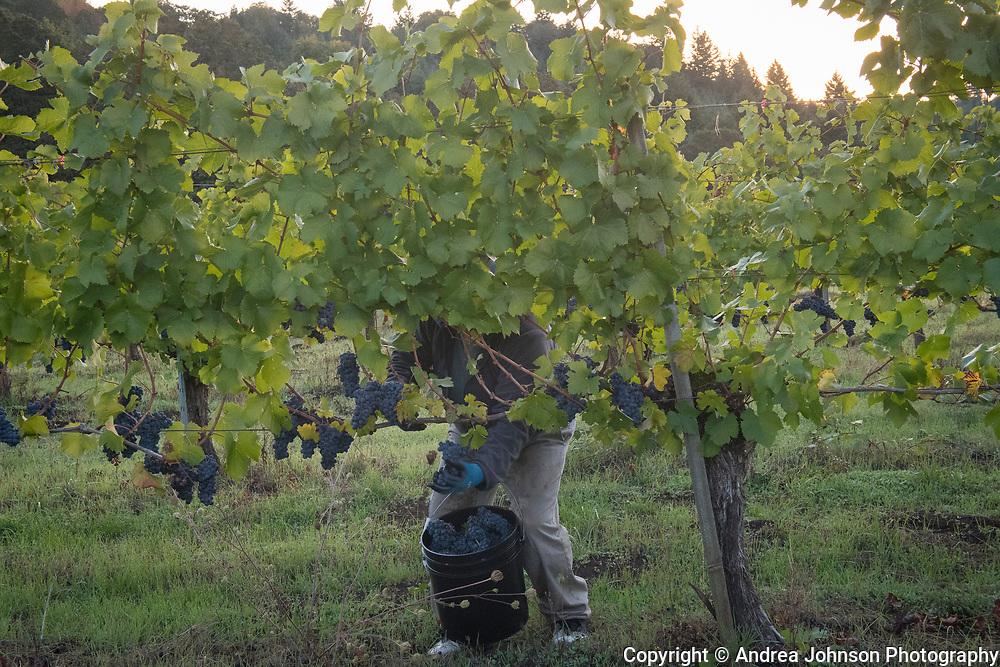 2017  harvest, Bethel Heights, Eola-Amity AVA, Willamette Valley, Oregon