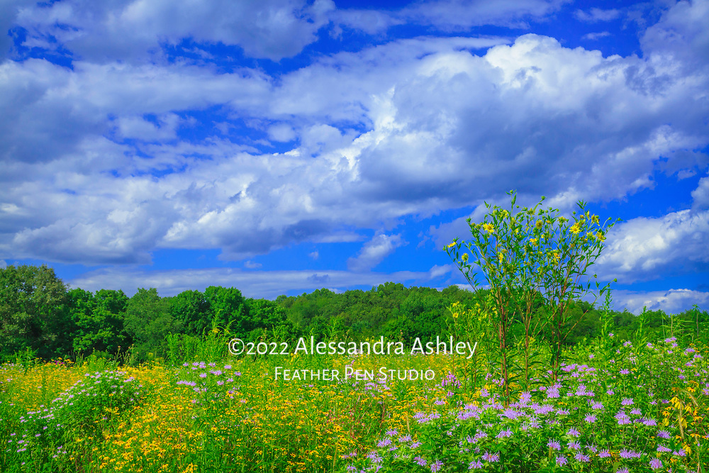 Native prairie wildflowers reach for the sky as they bloom in bright yellow in late July.