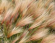 Foxtail barley (Hordeum jubatum) seed heads form chevron patterns in Denali National Park and Preserve, Alaska, USA.