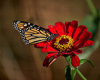 Monarch Butterfly on a Red Flower. Autumn Backyard Nature in New Jersey. Image taken with a Fuji X-T2 camera and 100-400 mm OIS telephoto zoom lens (ISO 200, 300 mm, f/5.6, 1/480 sec)