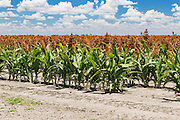 Flowering heads of sorghum crop in field under clouds near Dalby, Queensland, Australia <br /> <br /> Editions:- Open Edition Print / Stock Image