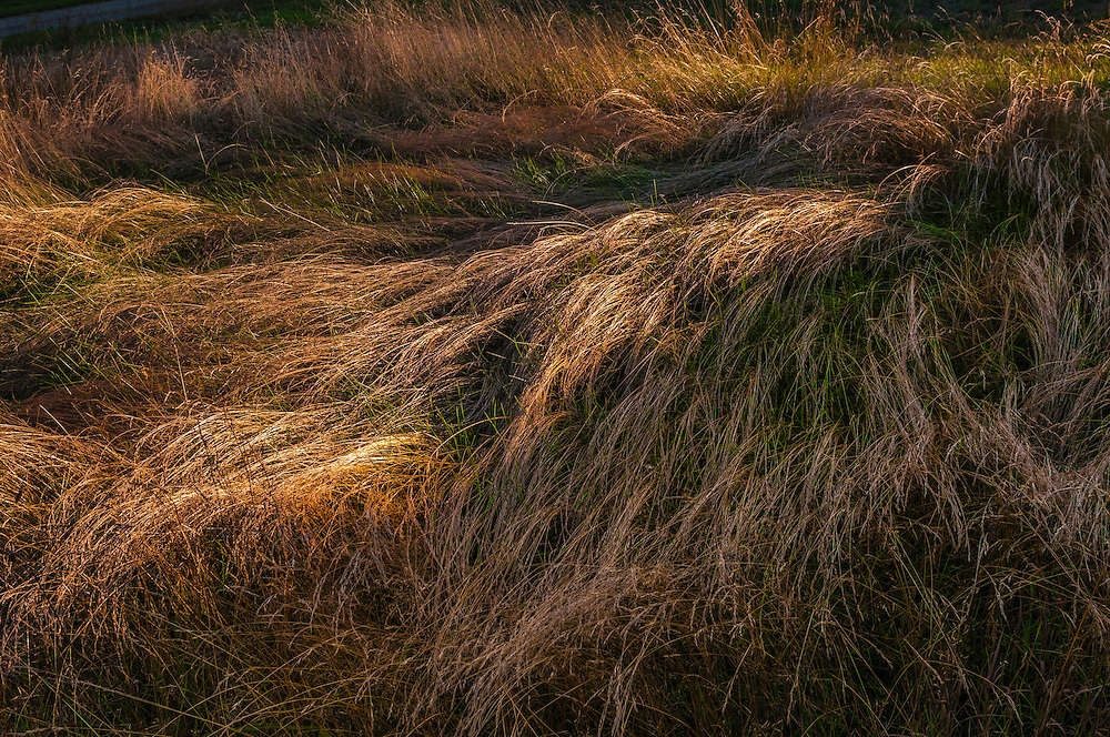 Long, flowing grasses in wind swept patterns, Bristol, NH