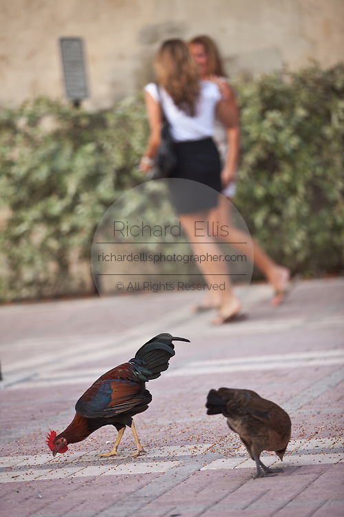 A feral chickens scratch around in Mallory Square in Key West, Florida.