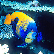 Blue Girdled Anglefish inhabit reefs. Picture taken Indonesia.
