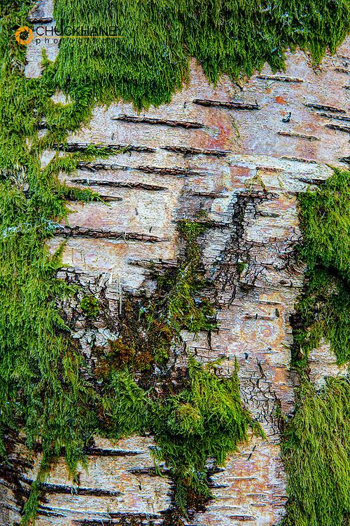 Moss on birch bark in county Leitrim, Ireland