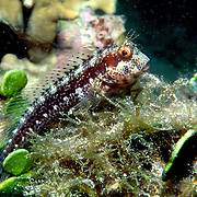 Seaweed Blenny inhabit reefs and hard bottoms with algae and gorgonians in Tropical West Atlantic; picture taken Key Largo, FL.