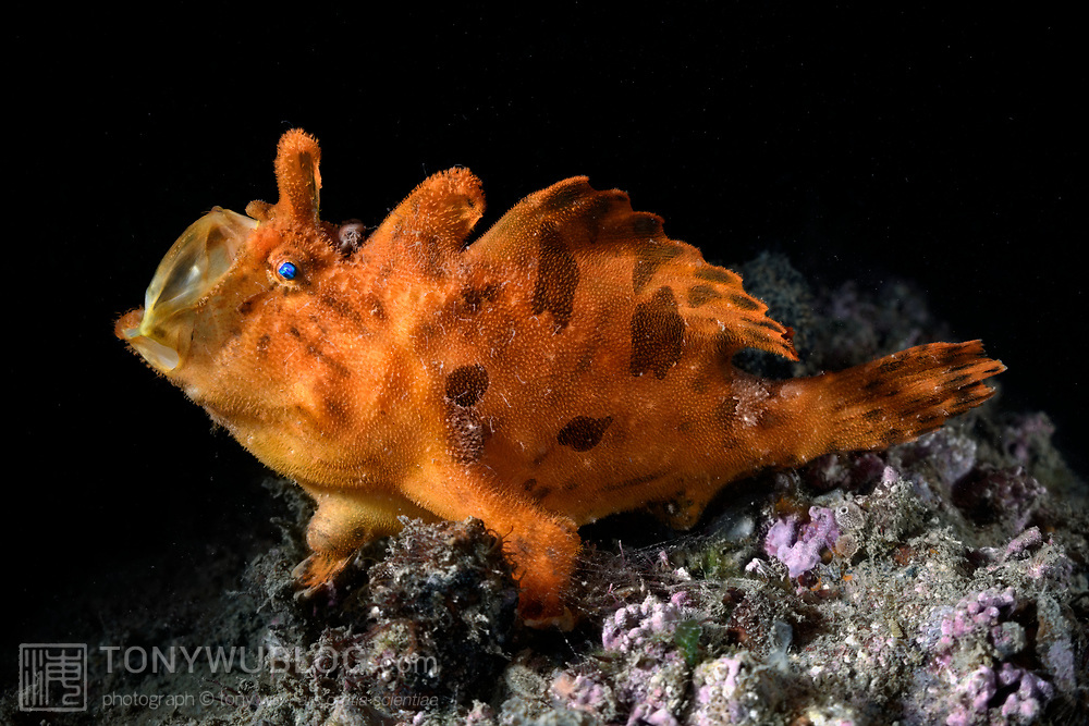 This is a large male hairy frogfish (Antennarius striatus) opening his mouth. Frogfishes exhibit this type of yawning behavior relatively frequently. In this image, the frogfish's illicium (rod) and esca (lure) are folded back and tucked away on top of the fish's head, comprising the front-most of three dorsal fins. The white hair-like protrusions on the fish's body are small amphipods known as skeleton shrimp (Caprellidae). This photograph was taken three days prior to this fish spawning with a smaller female.
