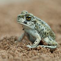 Scaphiopus sp., south Texas