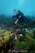 diver and blind shark, Brachaelurus waddi, New South Wales, Australia ( Western South Pacific Ocean )