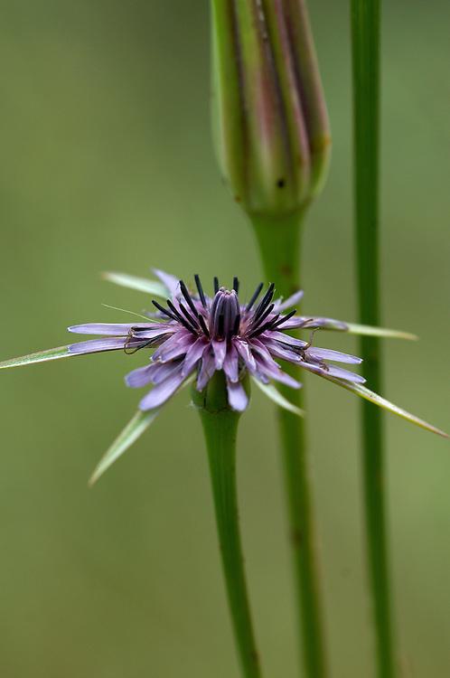Tragopogon hybridus (Tragopogon hybridus), Limassol, Cyprus