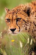 African Cheetah, Acinonyx jubatus