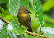 Red-throated Ant-Tanager, Habia fuscicauda