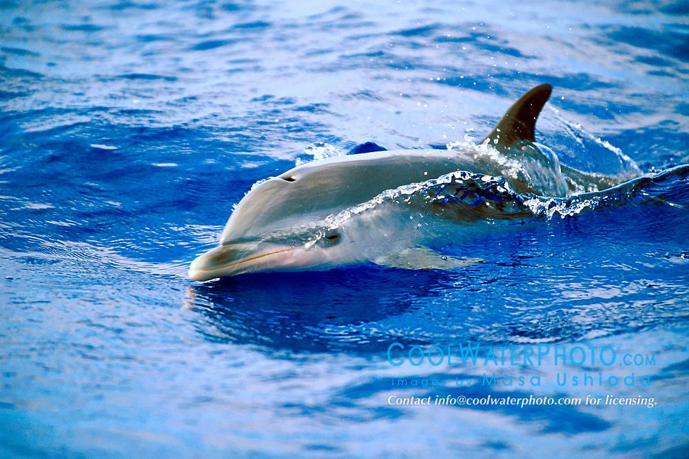 pantropical spotted dolphin calf, Stenella attenuata, wake-riding, off Kona Coast, Big Island, Hawaii, Pacific Ocean