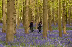 © Licensed to London News Pictures. 01/05/2015. Ringshall, Hertfordshire, UK.A couple walks through the bluebells. Just in time for the early May bank holiday, the bluebells are nearly in full bloom in Dockey Wood, part of the Ashridge Estate. This wood is renowned for its carpet of bluebells every spring and is regarded as one of the finest examples in the country. Photo credit : Stephen Chung/LNP
