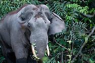 A bull Asian Elephant (Elephas maximus) visiting a salt lick in Khao Yai National Park, Thailand