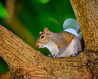 Squirrel in a Carambola tree Image taken with a Fuji X-H1 camera and 200 mm f/2 OIS lens + 1.4 x teleconverter