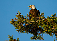 A bald eagle sits in a tree at sunset in the Dunguness area of Sequin, Washington, Saturday, June 29, 2019. (Photo/John Froschauer)
