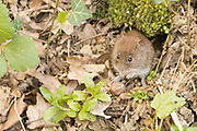 Bank vole (Myodes glareolus) feeding on nut. Sussex, UK.