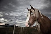 Icelandic horse in Húnaflói, north Iceland