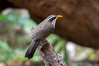 The white-browed scimitar babbler (Pomatorhinus schisticeps) is a species of bird in the Timaliidae family. It is found in Bangladesh, Bhutan, Cambodia, India, Laos, Myanmar, Nepal, Thailand, and Vietnam. Its natural habitats are subtropical or tropical moist lowland forests and subtropical or tropical moist montane forests.