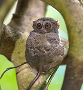 """Spectral tarsier"" (Tarsius fuscus) from Tangkoko Nature Reserve, northern Sulawesi, Indonesia."