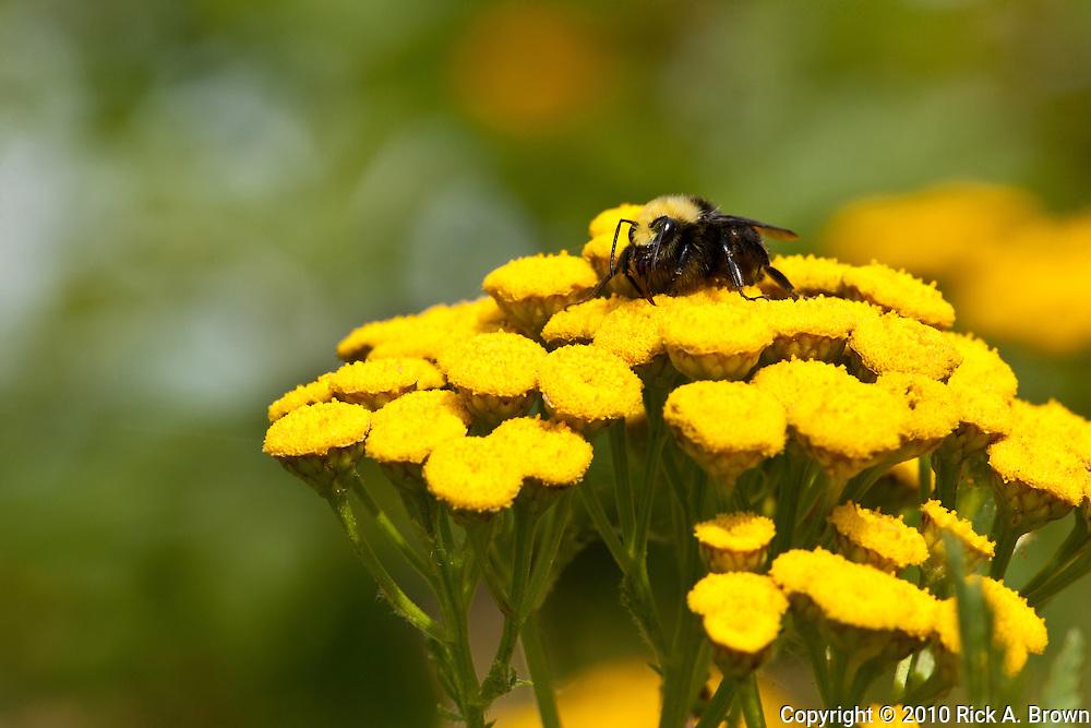 USA, Oregon, Salem, Minto Brown Park, Yellow-faced Bumblebee (Bombus vosnesenskii) on Common Tansy (Tanacetum vulgare) (invasive)