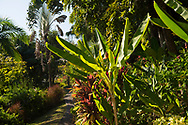 Musa basjoo (banana trees), Ravenal madagascarensis (Travelers palm) and Cordyline along a path in Hyde Park Garden, St. George's, Grenada, West Indies, The Caribbean