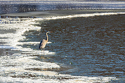 Great Blue Heron (Ardea herodias) is a large wading bird in the heron family Ardeidae, common near the shores of open water and in wetlands over most of North America.  This subject was standing on an ice covered Evergreen Lake at Comlara Park