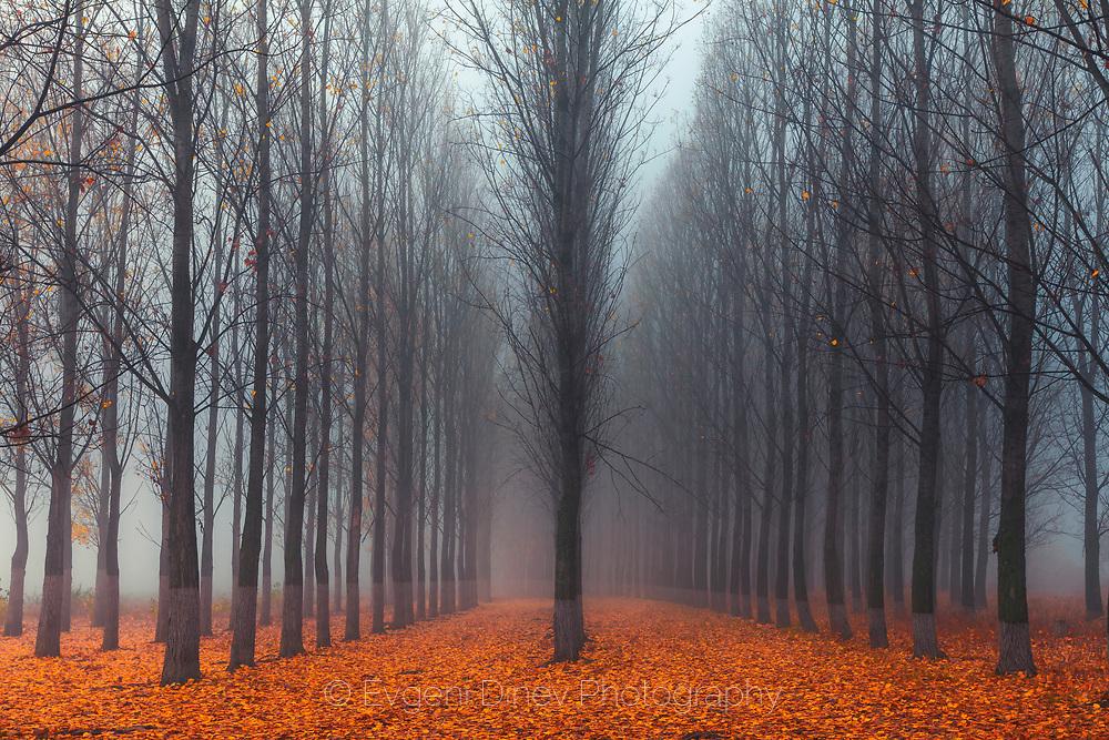 Misty poplar forest in autumn time