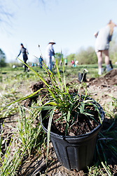 Volunteers planting native grasses and throwing Blackland Prairie seed bombs at Great American Seed Bomb event harnessing volunteers to plant natives prairie and wildflower seeds in North Texas prairies, Great Trinity Forest, Dallas, Texas, USA