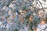 A Black-capped Chickadee (Poecile atricapillus) sitting on an ice covered pine branch after an ice storm (freezing rain) in the Fraser Valley of British Columbia, Canada.