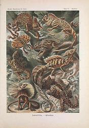 Kunstformen der Natur<br /> Leipzig und Wien :Verlag des Bibliographischen Instituts,1899-1904.<br /> https://biodiversitylibrary.org/page/47388377
