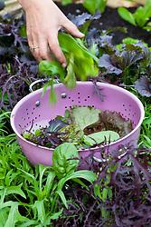 Harvesting salad leaves into pink colander