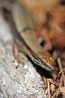 Aurelio´s rock lizard; Iberolacerta aurelioi, Creussans, 2350 meters a.s.l., Andorra