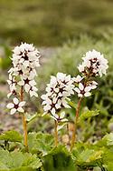 Bear Flower (Boykinia richardsonii) in Denali National Park in Interior Alaska. Summer. Afternoon.