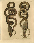 Secret viper (left) and Cobra de Capello Handcolored copperplate engraving From the Encyclopaedia Londinensis or, Universal dictionary of arts, sciences, and literature; Volume IV;  Edited by Wilkes, John. Published in London in 1810