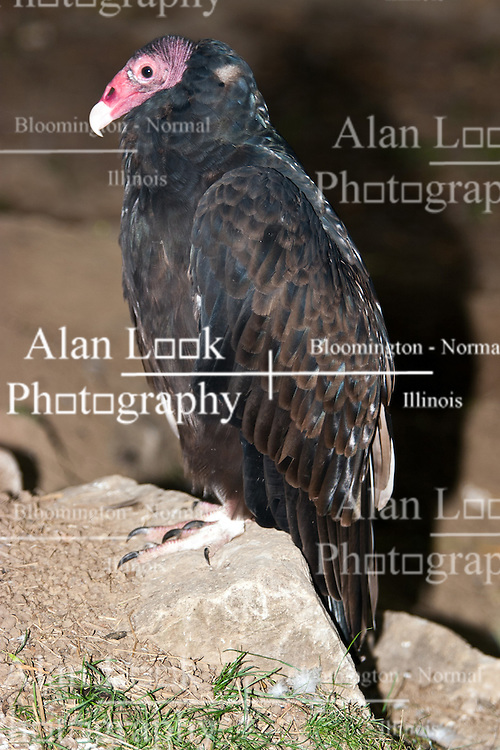 03 July 2006:   A turkey vulture stands on a small rock keeping a steady stare looking for prey.