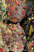reef stonefish, Synanceia verrucosa, two together in a possible courtship behavior, Steve's Bommie, near Agincourt, Great Barrier Reef, Australia ( Western Pacific Ocean )