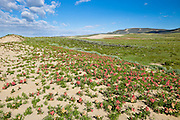 Wildflower bloom in summer at the edge of the Killpecker Sand Dunes in the Red Desert of Wyoming