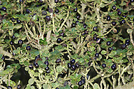 Evergreen shrub or small tree. Sometimes known as Japanese Holy. Hieight to 5m. Leaves are dark green, glossy and oval with a toothed margin. Flowers are white. Fruit is a black, berry-like drupe.
