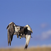 Gyrfalcon (Falco rusticolus) in flight. Captive Animal