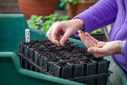 Sowing sweet peas seeds into plastic root trainers trays in the greenhouse. Lathyrus odoratus