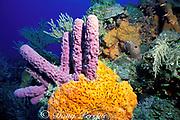 purple tube sponges, Aplysina archeri, and <br /> orange elephant ear sponge, Agelas clathrodes,<br /> Bahamas ( Western Atlantic Ocean )