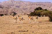 A herd of Onager (Equus hemionus). Part of a breeding nucleus of Wild Asian Asses at a reacclimation centre Yotvata Hai-Bar Nature Reserve, Israel