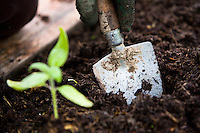 planting seedlings in a vegetable patch with a hand trowel
