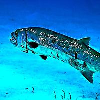 Barracuda, Sphyraena barracuda, (Edwards in Catesby, 1771), Grand Cayman