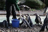 Humboldt Penguins, ZSL London Zoo Annual Stocktake 2016, Regents Park, London UK, 04 January 2016, Photo By Brett D. Cove
