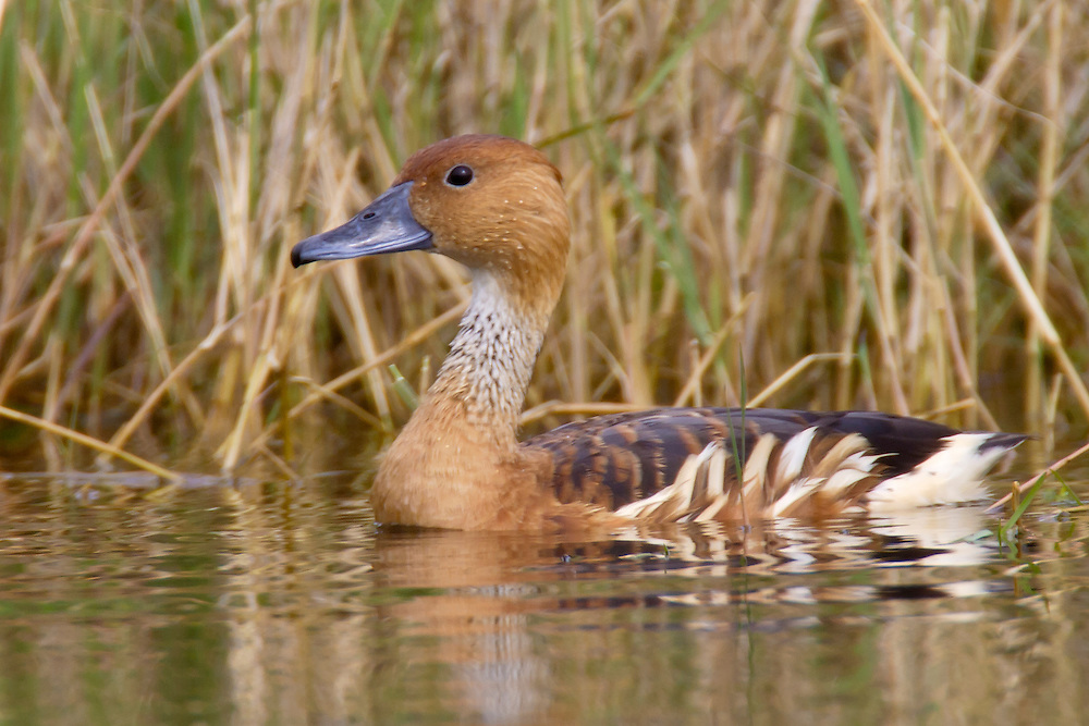 Fulvous Whistling-Duck - Fulvous Whistling-Duck